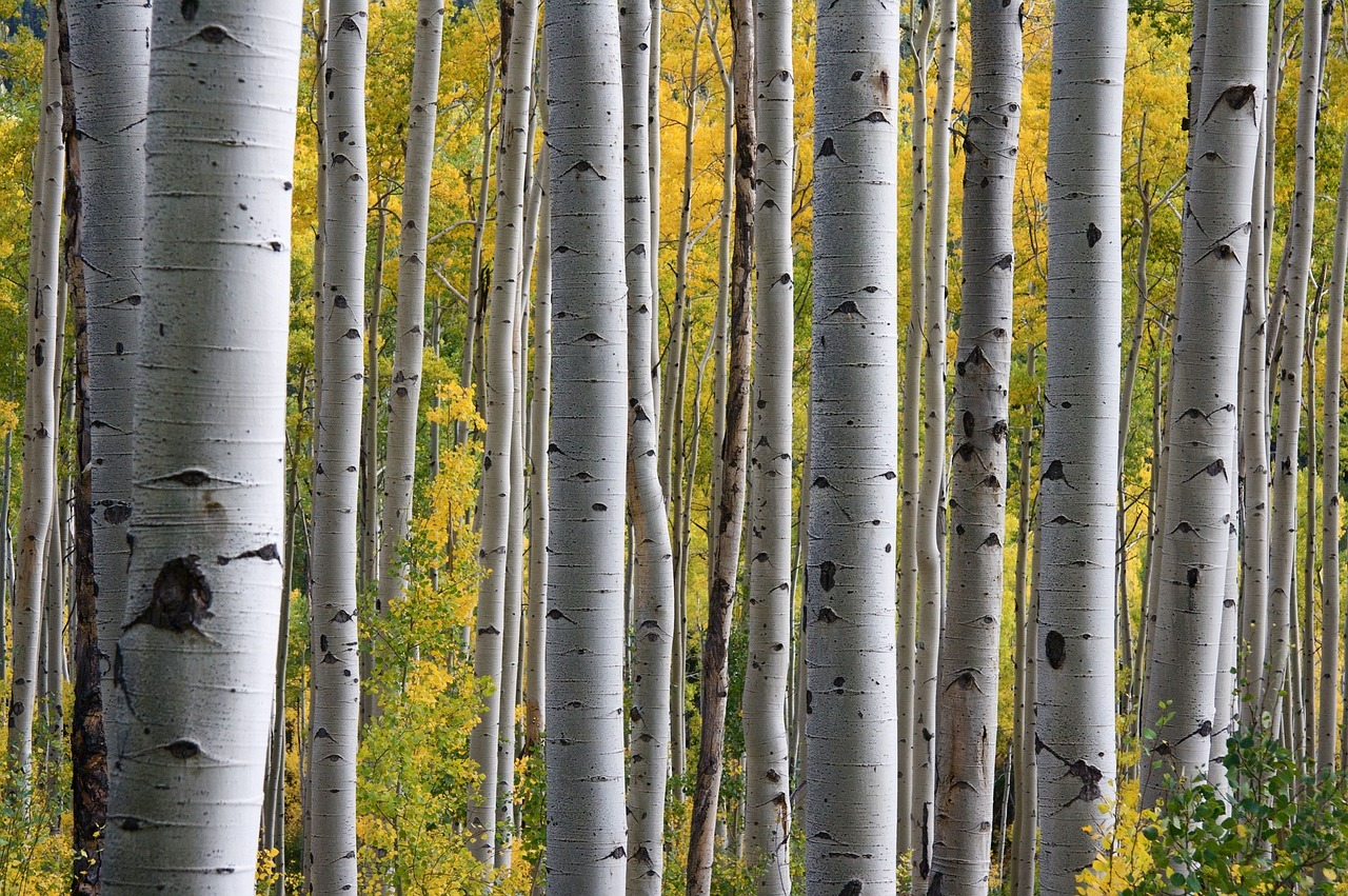 several trunks of tall birch trees in the middle of the forest