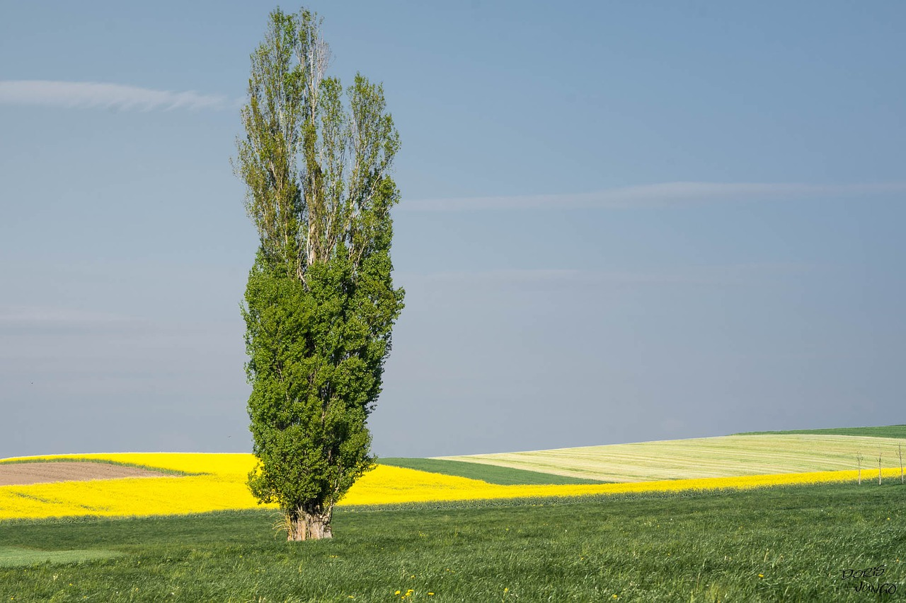 a poplar tree in the middle of a beautiful field