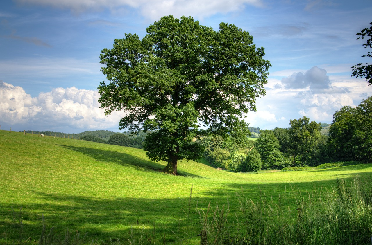 oak tree in the middle of an open field